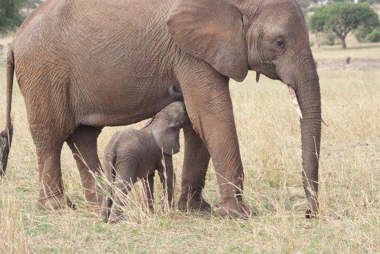 Regio Arusha, Tanzania: Mama Elephant breastfeeding the baby at Tarangire National Park