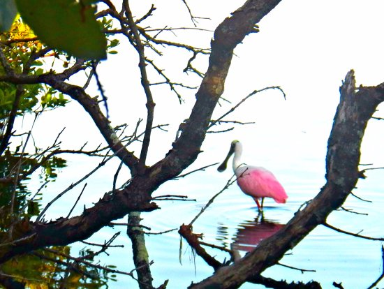 Bradenton, FL: Roseatte Spoonbill wading