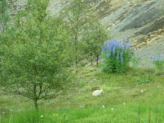 Laugardalur Park: wild rabbit