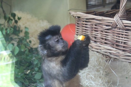 Monkey World: He was being fed by the happy couple.