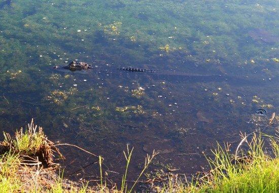 Ocean's Reach Condominiums: Small alligator in the pond.