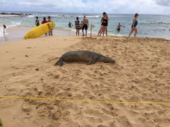 Poipu Beach Park: Hawaiian Monk Seal