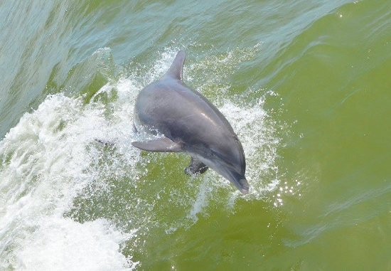 Captiva Cruises: Dolphins jump right next to the boat!