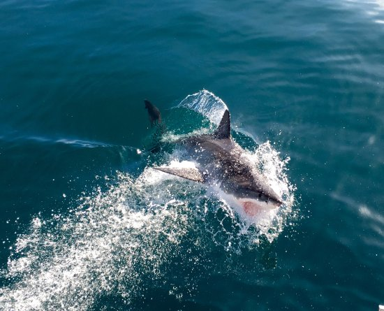 Kleinbaai, Sør-Afrika: Amazing breach by large Great White