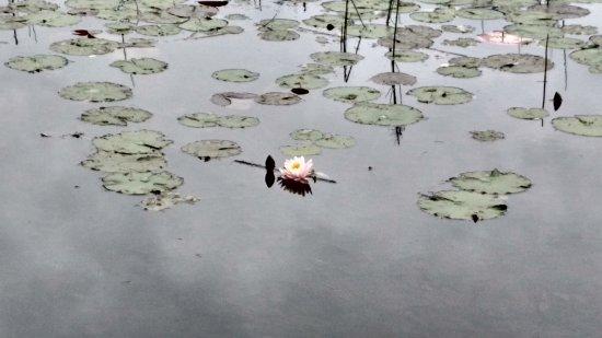 มอนทรีออล, แคนาดา: Lotus Flower