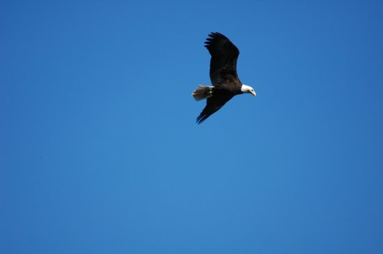 Campbell River, Canada: Bald eagle selecting lunch
