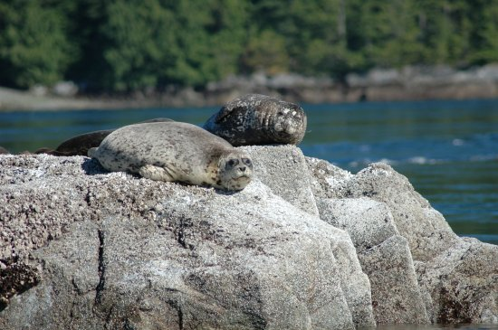 Campbell River, Canada: Harbour seals checking us out