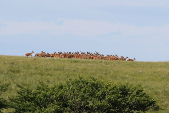 Exmoor National Park, UK: Large herd of red deer