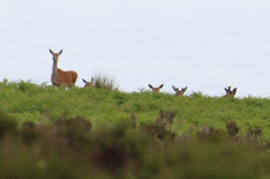 Red Stag Safaris: Red deer