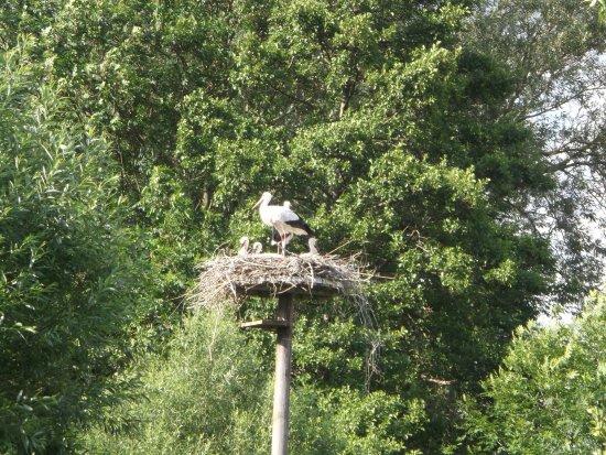 Elbrinxen, ألمانيا: In Elbrinxen in NRW is een ooievaarsstation waar ooievaars kleintjes krijgen en worden bijgevoer