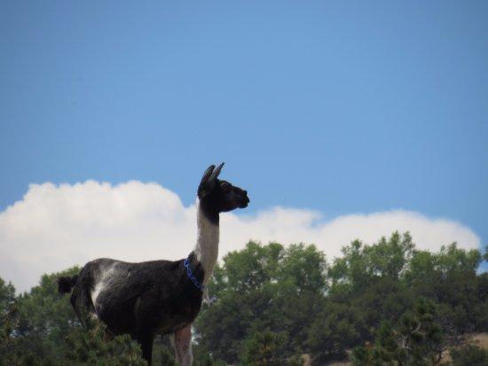 Mountain Goat Lodge: Pilar the Lama