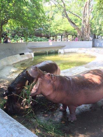 Chiang Mai Zoo: Feeding the hypo :D