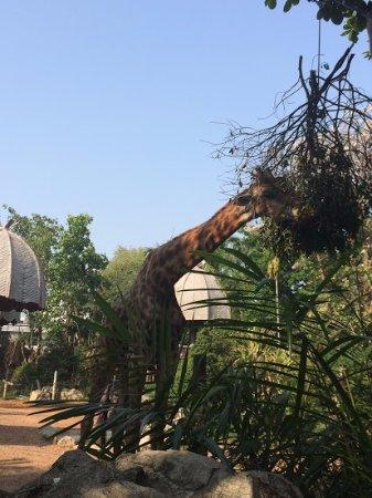 Chiang Mai Zoo: Giraffe ..so high