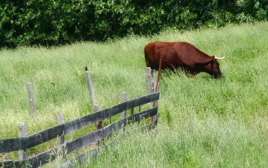 Livermore Falls, ME: Cattle in the fields in summer