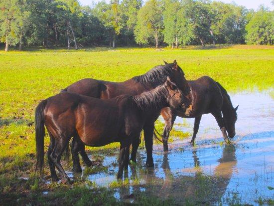 Shingletown, Kalifornien: Wild horses near camp