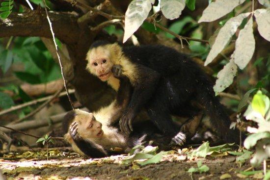 Hotel Villas Playa Samara: A family of monkeys playing on the river