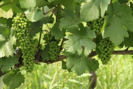 Tamba Wine : 葡萄がなっていました