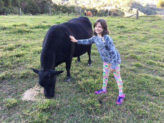 Cooroy, Australia: Feeding the cows