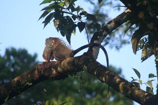 Selva Verde Lodge: An iguana from the restaurant balcony
