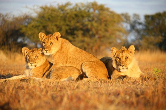 Gweru, ซิมบับเว: Young Lions socialising