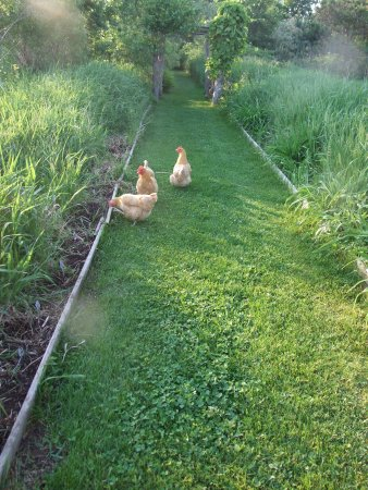AWAY in the County: Our AWAY chickens on the garden path!