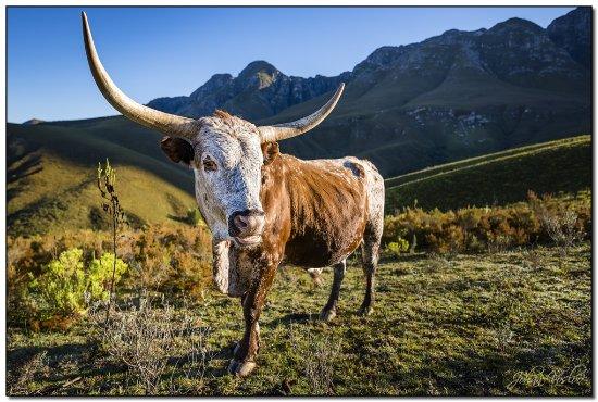 Greyton, Sydafrika: Nguni Cattle