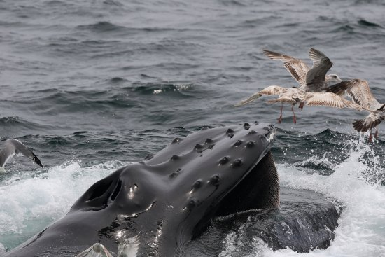 Hyannis Whale Watcher Cruises : A humpback whale feeding on the surface.