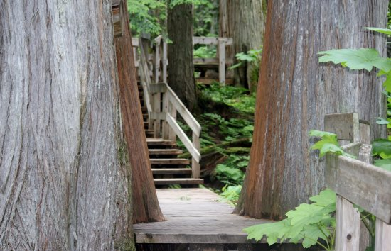 Giant Cedars Boardwalk Trail: Giant Cedars