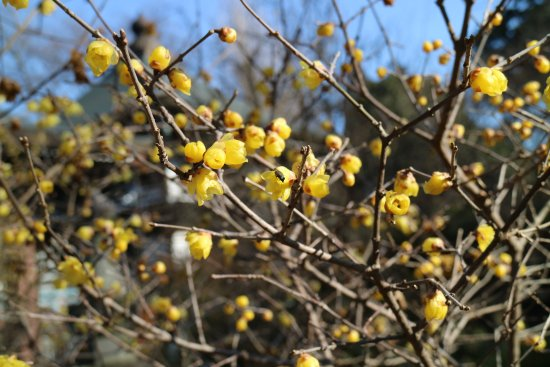 Toride, Japan: 蝋梅。まだ早かったかな?
