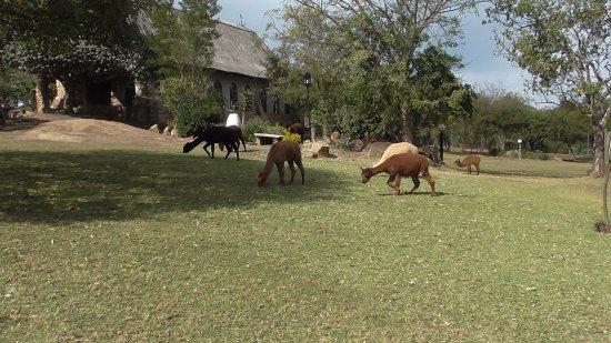 بوندو لودج: The animals walkingabout.