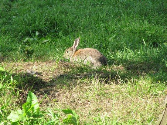 Ash Bank B&B: Placid rabbit by chickens