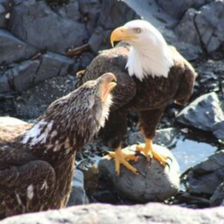 Cascade Creek Inn & Charters: Eagles on the rocks just off our balcony.