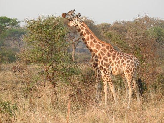 Een Gek Dier De Giraf: Photo De Murchison Falls