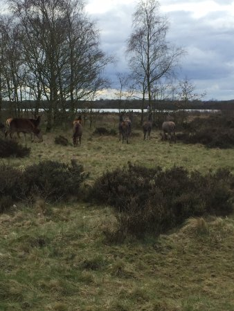 Burntwood, UK: Wild deer at chasewater