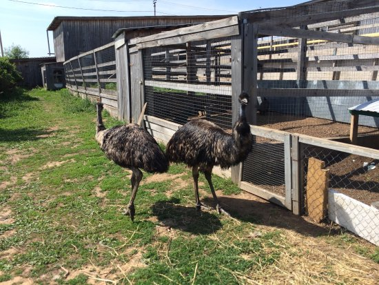Republic of Tatarstan, Rusya: Страусиная ферма, для животных отличные условия