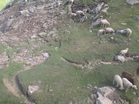 La Grave, Francia: Moutons en altitude