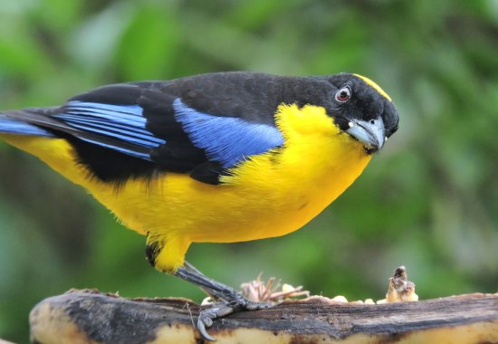 San Jorge de Milpe Eco-Lodge Orchid & Bird Reserve: blue-winged mountain tanager