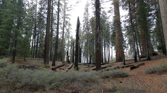 General Grant Tree Trail: Burned Forest