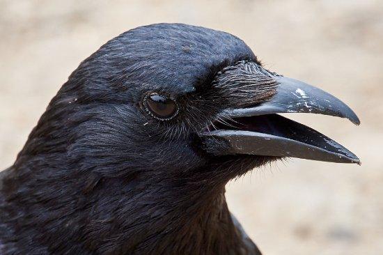 Hampstead Heath: Carrion crow