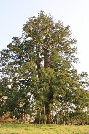 Japanese Cedar Tree of Sugisawa