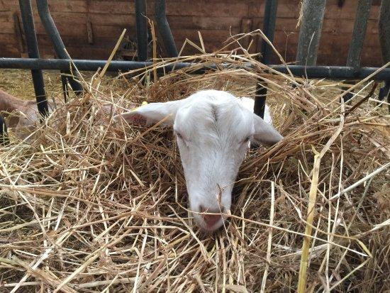 Loix, Francia: Ziege