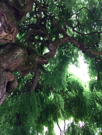 Chateau of Gramont: Un petit aperçu du cabinet de verdure que forme le rare et vieux Sophora japonica pleureur