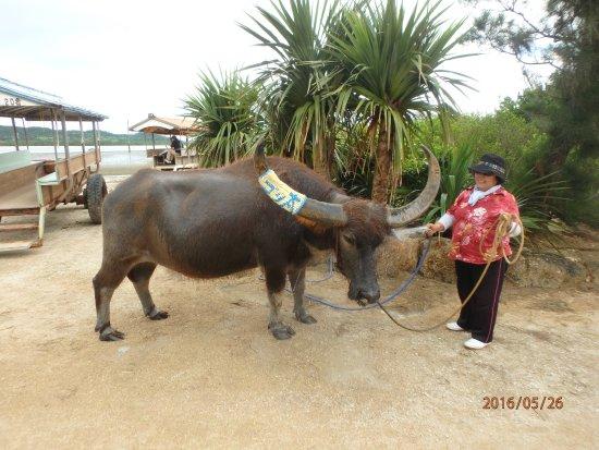 Yubu-jima, اليابان: ゴン太と水牛車の案内人で歌の上手なオバアさん
