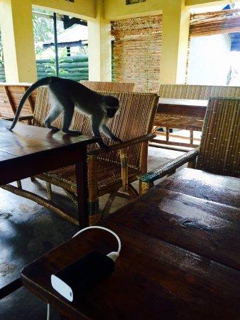 Lake Nkuruba Nature Reserve & Community Campsite: monkeys at breakfast!