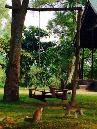 Lake Nkuruba Nature Reserve & Community Campsite: monkeys playing on the swing