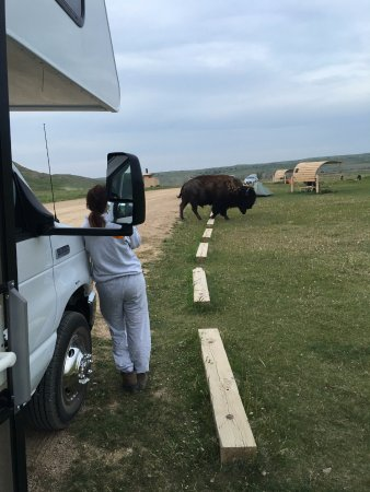 Sage Creek Campground: buffalo at our campsite