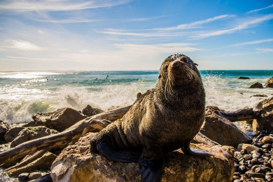 Shoalhaven, Australia: A friendly seal at Narrawallee