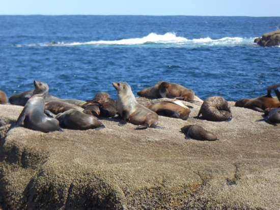 Cowes, Australia: Australian fur seals ... you can smell them before you see them!!