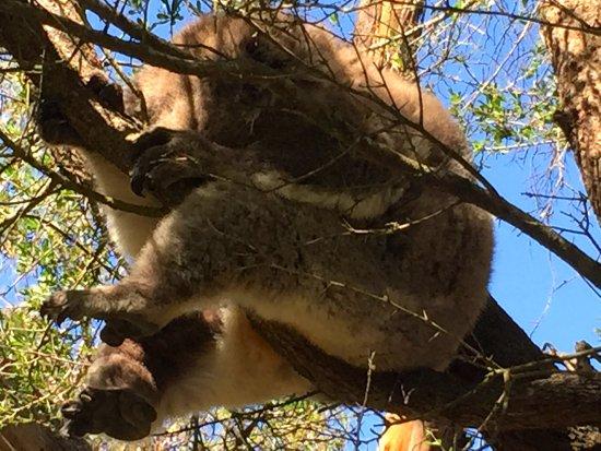 Cowes, Αυστραλία: Koala siesta...