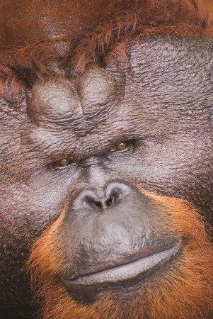 Sarawak, Malaysia: Alpa Orang Utan Pongo Pygmaeus Semenggoh Nature Reserve